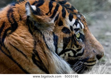 Portrait Of Tiger With Intense Eye.