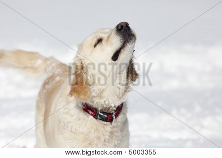 poster of Beautiful Golden Retriever dog in the snow