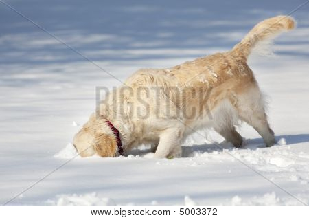 Beautiful Golden Retriever dog in the snow poster