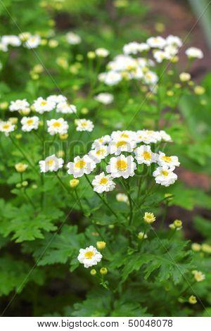 Flowering Pyrethrum