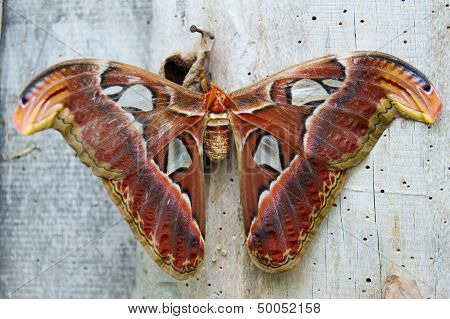 giant moth rests on a wooden beam