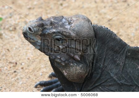 Head of a horned lizard basking in the morning sun. poster
