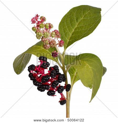 pokeweed with ripe berries and leaves isolated poster