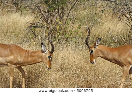 Two Impalas Fighting