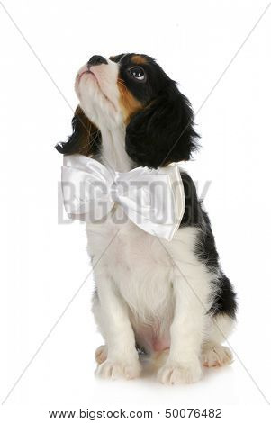 puppy looking up - cavalier king charles puppy wearing white bowtie looking up on white background