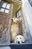 Two Beautiful Golden Retrievers standing at the front door of an old house poster