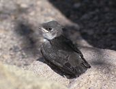 A Fledgling Swallow Chick Waits for its Mother on a Granite Rock poster
