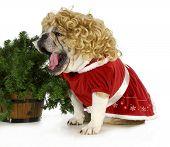 christmas dog - english bulldog female wearing blonde wig and red dress sitting beside christmas tree  poster