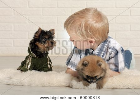 Adorable boy with puppies of Yorkshire terrier and Spitz