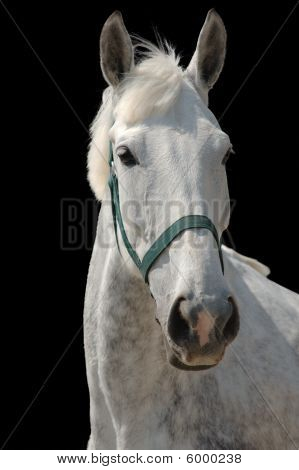 A portrait of grey horse isolated on black poster