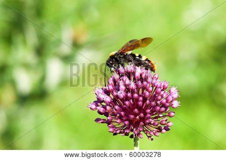 Giant Wasp (scolia Maculata)