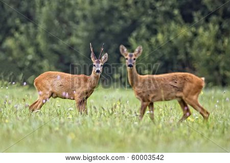 Buck deer in the clearing