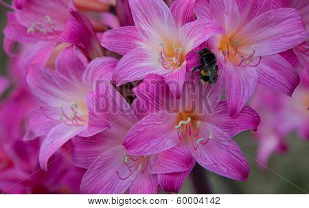 Amanyllis Bumble Bee