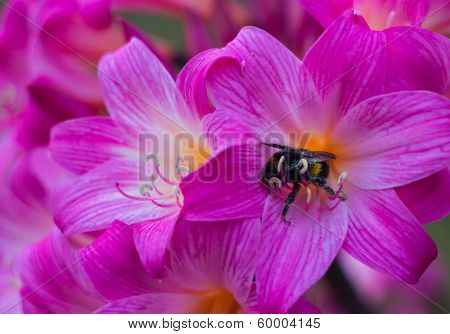 Amaryllis Bumble Bee