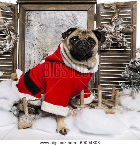 Pug wearing a christmas suit sitting in a winter scenery, 3 years old
