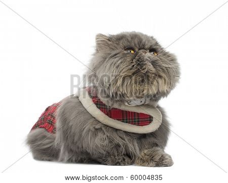 Persian cat wearing a tartan harness, lying, looking up, isolated on white