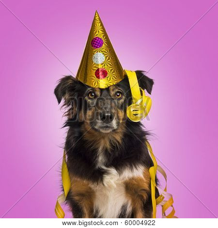 Close-up of a Border collie with party hat and streamers facing, looking at the camera, on pink background