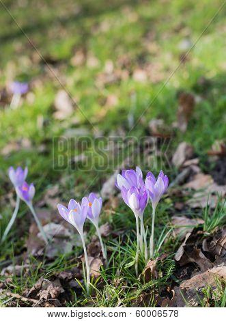 Lilac Flowering Crocuses In Wild Nature
