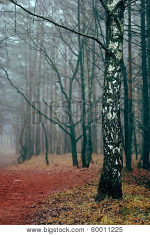 Birch Standing In The Foggy Forest