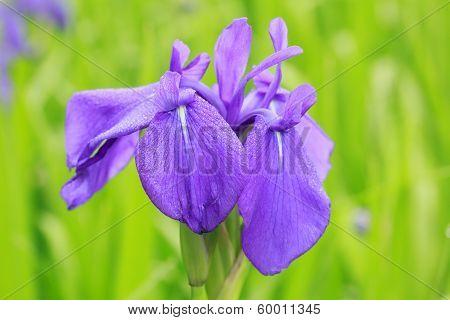 Group Of Purple Irises