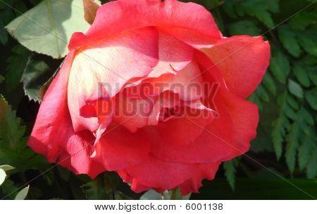 red rose at Tyler Texas Rose Garden poster