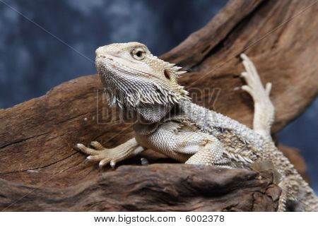 Bearded Dragon (vitticeps)