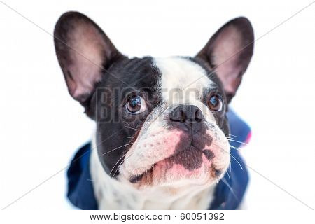 Portrait of french bulldog in winter jacket over white poster