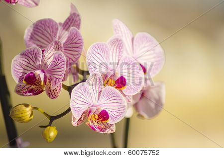 A close up of a branch with blossomed pink striped petals of the beautiful flower orchid Phalaenopsis. The orchidea is a symbol of beauty luxury virility love and elegance used in many beauty salons. poster