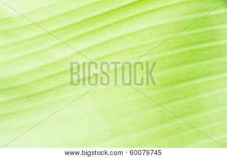 Green Banana Leaf Texture For Texture Background poster