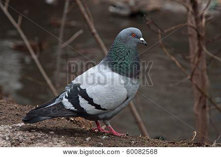 Single pigeon walking. Portrait of a Rock Dove poster