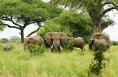 Wildlife Elephants famili in safari in Africa poster