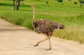 Wildlife Ostrich in safari in Africa, Tanzania poster