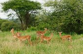 Wildlife dik-dik antelope in safari in Africa poster