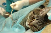 Veterinarian's office, surgical operation of cat. poster
