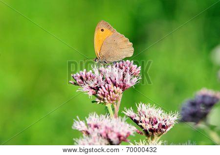 Meadow Brown (Maniola jurtina).Butterfly.
