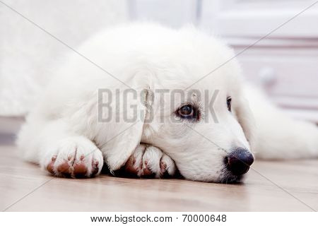Cute white puppy dog lying on wooden floor. Polish Tatra Sheepdog, known also as Podhalan or Owczarek Podhalanski