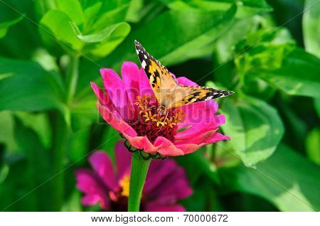 The butterfly sits on a flower zinnia.