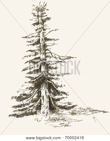 Old Spruce