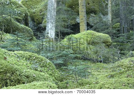 Mossy Pine Forest On The Mountain