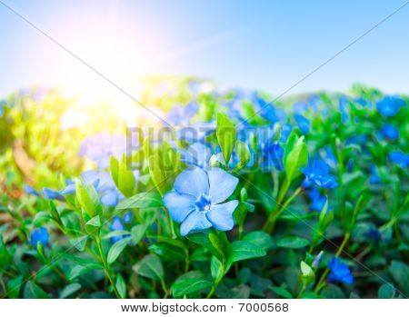 Field Of Fine Blue Florets Against A Rising Sun