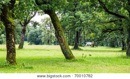 Lipizzaner In The Meadow
