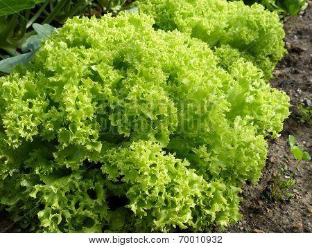Organic Garden Lettuce Lollo Bionda