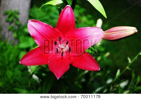 Maroon Lily Growing In The Summer Sun