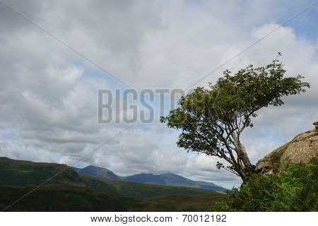 Windswept Rowan Tree