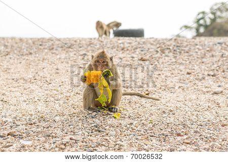 Monkey Eats Raw Mango