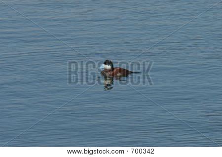 Ruddy Duck Blue Billed Duck