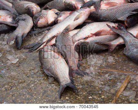 Carp Fish On A Concrete Floor