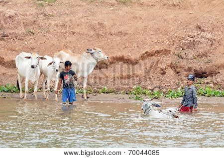 People wash their cows