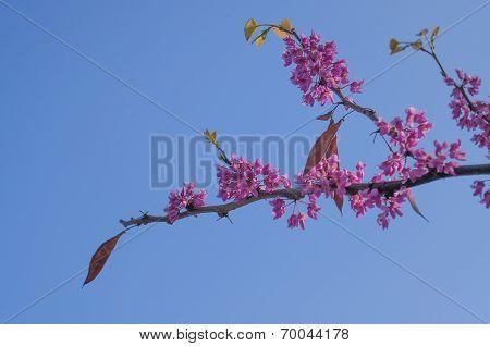 Branch Of Sakura