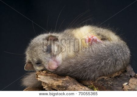 Edible dormouse / Glis glis